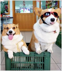 Two Corgis are better than one - Imgur