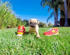 Find your perfect toy puppy at Puppy Avenue, a great resource in finding small breeds puppies for adoption.