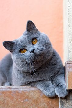 British Shorthair - The British Shorthair is a stocky, sturdy cat resembling a plush teddy bear.  While blue is the color most associated with the breed (like the one pictured), British Shorthairs are found in a number of other coats and patterns as well.