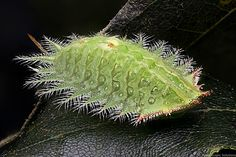 The Crowned Slug Moth or Skiff Moth (Isa textula) is a moth of the Limacodidae family. It is found from Minnesota, southern Ontario and Massachusetts to Florida and Mississippi. The larvae feed on the leaves of various trees, including oak, cherry, maple, basswood, elm and beech. Early instars leave zigzagging tracks in the underside of leaves. They are pale green and flattened and have lobes with stinging spines and additional stinging hairs which run down the back