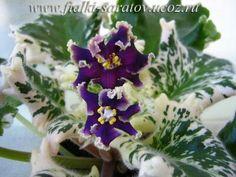 ЛЕ-Вах-Вах-Вах (Е.Лебецкая).  Крупные сливово-чёрные цветы с сильной гофрированной зелёной бахромой. Лист бело-зелёный, волнистый. (Чужое фото)