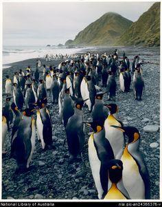 Peter Dombrovskis, 1945-1996. King penguins near Sandy Bay, Macquarie Island, Tasmania, 1984