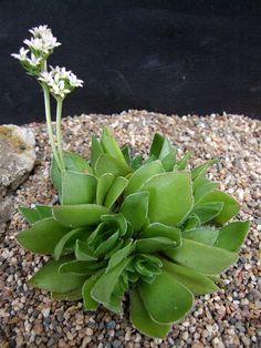 Crassula cremnophylla
