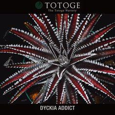 Instagram media by lyo_munro - DYCKIA 'Baker's Domain'なんとも言えない色彩 #dyckia #dyckiaaddict #totoge