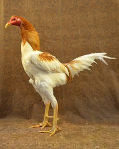 Modern Game chicken - Heritage Breed - Conservation Priority List status: Critical: Fewer than 500 breeding birds in the United States, with five or fewer primary breeding flocks (50 birds or more), and estimated global population less than 1,000