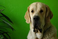 Spanish Mastiff. Shut up. So cute.