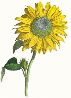 Vintage Botanical Print Of A Giant Sunflower In Full Bloom