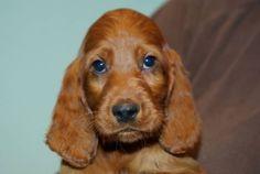 Irish Setter Pup ~ Classic Look ~ La Cour Saint Florent