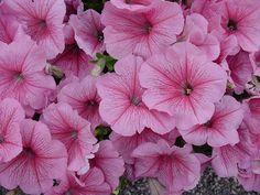 Bulk Petunia Seeds Freedom Pink Vein 1,000 Pelleted Seeds
