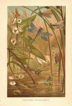 1900 Dragonflies Damselflies