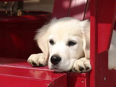 "8-ish more years of the military and I want this pup.... ""white"" golden retreiver!  There is one up the street, she is beautiful!!!!!"