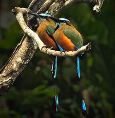 Bellas Aves de El Salvador: Eumomota superciliosa (guardabarranco, torogoz)