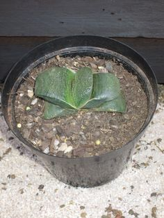 Gasteria armstrongii with a pup. in the Plants category was listed for on 13 Sep at by Deonrick in Middelburg