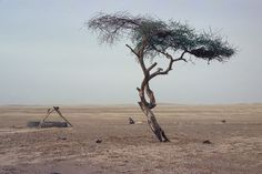 L'Arbre du Ténéré, (English: the Tree of Ténéré), was a solitary acacia, of either Acacia raddiana or Acacia tortilis, that was once considered the most isolated tree on Earth.  It was knocked down by a drunk truck driver in 1973. It was estimated to have been 300 years old.