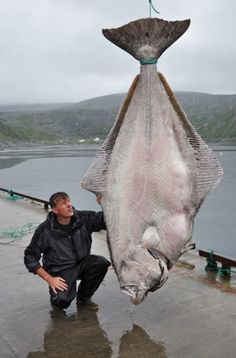 Angler Marco Liebenow is celebrating after breaking the world record for the biggest halibut fish ever caught on rod and line. The enormous flat fish tipped the scales at 37 stones