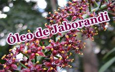 Óleo de Jaborandi