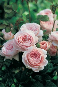 British rose breeder David Austin creates some of the most beautiful flowers in the world. Find out which roses are most in demand in American gardens.