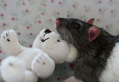 Posing pet rats with teddy bears is a thing? Apparently so, and it's cuter than you'd think [22 pictures] | 22 Words
