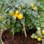 Συμβουλές για να καλλιεργήσουμε ντοματίνια σε γλάστρα Celery, Gardening, Vegetables, Plants, Food, Lawn And Garden, Essen, Vegetable Recipes, Meals