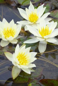 Pale and elegant with perfectly shaped blooms, this small-flowered water lily is a classic addition to your garden pond. Lotus Pond, Pond Plants, Garden Pond, Water Lilies, Dwarf, Planting Flowers, Beautiful Flowers, Scenery, Lotus Flowers