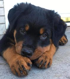 Super Cute Puppies, Cute Baby Dogs, Cute Dogs And Puppies, Doggies, Cute Little Animals, Baby Animals, Funny Animals, Rottweiler Breed, Rottweiler Training