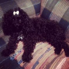 my poodle ...love  bow black toypoodle