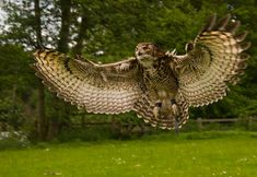 EAGLE OWL | Eurasian Eagle Owl (Bubo bubo) ~ My Pet