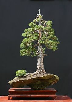 Walter Pall Bonsai by vilma