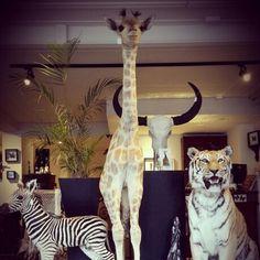 Taxidermy animals! Email us for the possibilities: info@demuseumwinkel.com #taxidermy #taxidermist #taxidermyshop #giraffe #zebra #tiger #opgezettedieren #preparateur #prepareren #opgezette #nijmegen #art #demuseumwinkel #demuseumwinkelnijmegen