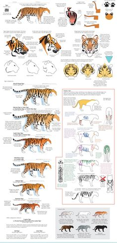 "anatoref: "" Big and Small Cats Guides by Joumana Medlej "" Cat Reference, Anatomy Reference, Drawing Reference, Cat Drawing, Drawing Tips, Drawing Tutorials, Big Cats, Cool Cats, Diy Y Manualidades"
