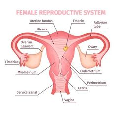 Female reproductive system scientific template in cartoon style on white background isolated vector illustration Reproductive System Organs, Endocrine System, Female Reproductive System Anatomy, Basic Anatomy And Physiology, Biology Lessons, Human Body Anatomy, Human Body Systems, Medical Anatomy, Nursing Notes