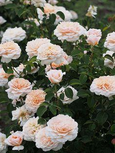 'English Garden'   David Austin English Rose. Austin 1987   Flickr - ©  T. Kiya