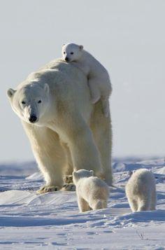 Gorgeous Polar Bear Family!