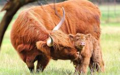 This picture of a Highland calf and its mother was taken in Croxteth Park, Liverpool, where there is a rare breeds farm. Picture: Anthony Beyga