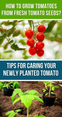 HOW TO GROW TOMATOES FROM FRESH TOMATO SEEDS? Remove the seeds from the tomatoes and soak the seeds in water for 14 hours. Let the seeds dry and sow them within 7 days in a potting mix in three small pots. You can use a paper towel for drying purposes Grow Tomatoes, Starting A Vegetable Garden, Tomato Seeds, Small Space Gardening, Base Foods, Growing Vegetables, Plant Based Recipes, Organic Gardening, Pots