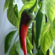 Uprawa papryczek chili  #papryka #wysiew