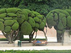 cedar topiary, parque del retiro, madrid
