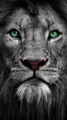 Lion tattoos hold different meanings. Lions are known to be proud and courageous creatures. So if you feel that you carry those same qualities in you, a lion tattoo would be an excellent match Lion Wallpaper Iphone, Animal Wallpaper, Galaxy Wallpaper, Wallpaper Pictures, Lion Images, Lion Pictures, Eagle Pictures, Tier Wallpaper, Eagle Wallpaper