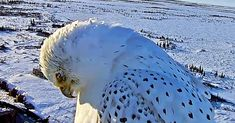 This Rare White Gyrfalcon Tries to Stare Down a Camera and Wins Everything Canadian Wildlife, Birds Of Prey, Cute Gif, Polar Bear, Eagles, Owl, Rainforest Site, Image, Winter Solstice