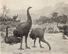 Elephant birds lived on Madagascar until their extinction in the 17th century. Sightings in Madagascar were recorded as late as the 1640's and 1650's.