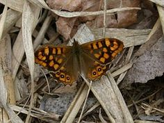 Lasiommata Megera, Papillon, Margenera