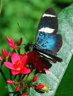 Black and Blue Butterfly on Pink Flowers