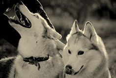 Husky run by mojmir_ch, via Flickr.  Love this shot!  One looking up affectionately and then there's the Husky tongue.  ♥