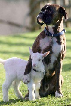 Photos d'animaux : un chevreau et son ami le chien