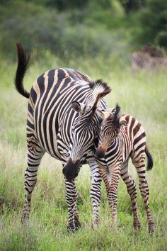 Zebra foal & mum in the kruger equine art, zebras, zebra print, giraffe African Animals, African Safari, Beautiful Horses, Animals Beautiful, African Cichlids, Cute Baby Animals, Wild Animals, Animal Photography, Animal Kingdom