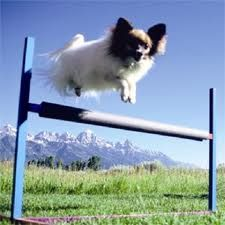 Dog agility, this one's jumps very high!