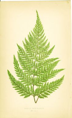Lowe, davallia novaezelandiae - Edward Joseph LOWE  Chromoxylograph (color wood engraving ) after drawings by A. F. Lydon from Edward Joseph Lowe's Ferns: British and Exotic, 1872 Print
