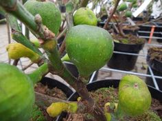 Animals And Pets, Avocado, Gardening, Apple, Fruit, Youtube, Figs, Plant, Pets