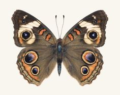 Brown Butterfly Photograph Nature Photograph Large Wall Art - Brown Butterfly Photograph Nature Photograph Large Wall Art Print Buckeye Butterfly Print Insect Art Natural History Print Fine Art Butterfly Photography Print Of A Common Buckeye Butterfly Jun Buckeye Butterfly, Orange Butterfly, Butterfly Photos, Butterfly Wings, Beautiful Bugs, Beautiful Butterflies, Art Papillon, Insect Art, Natural History