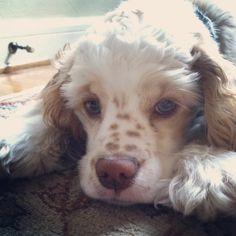 Daisy - our adorable cocker spaniel puppy!